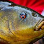 Uitzetten Zeelt, een prachtige sportvis!