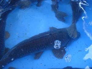 Vis uitzetten Cremermeer 2013